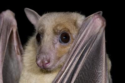 Image of an Egyptian Fruit Bat